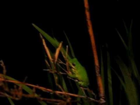 Bugs That Eat Trees Tree Frog Eats Orange Bug