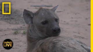 Safari Live - Day 269 | National Geographic