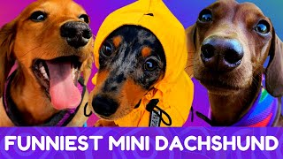 Try Not To Laugh! Funniest Mini Dachshund Moments of 2020 #9