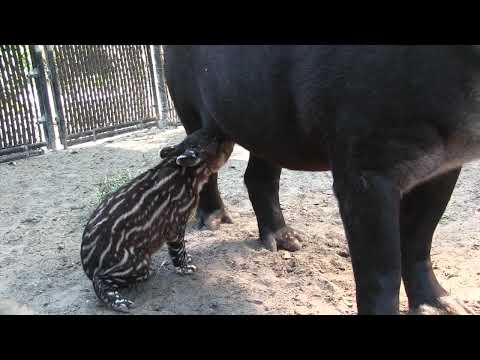 First video of 2-day-old baby tapir calf at the Palm Beach Zoo