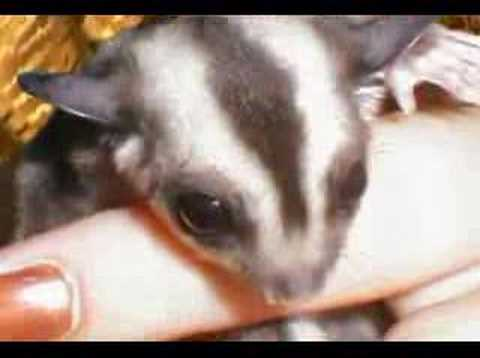 Sugar Gliders Rule