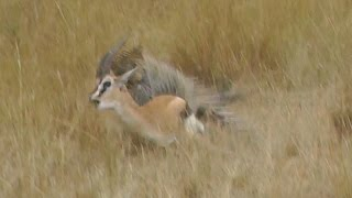 MUST SEE! Leopard Hunts Gazelle on Masai Mara Safari, Kenya, Africa. Full animal hunt.