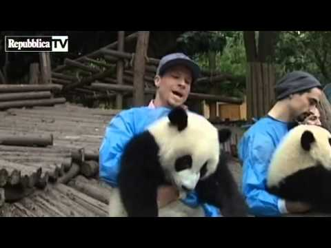 Backstreet Boys con osos panda