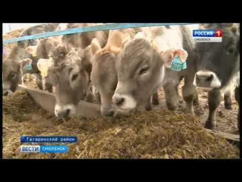 Смоленские швицы набирают популярность в России и за рубежом