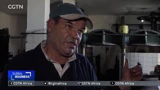 Tunisian Gold - Olive Oil Harvesting season