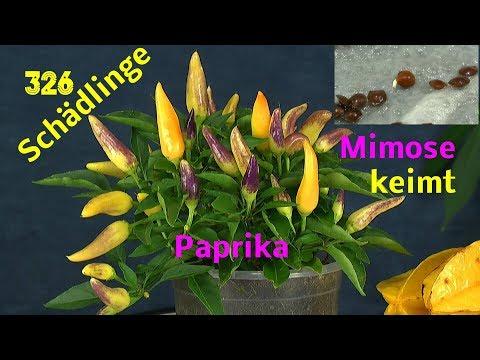 Schädlinge an Paprika behandel, Mimose keimt nach einem heißen Bad