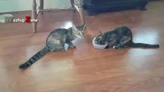 دعوای گربه ها برای غذا (دوبله فارسی _ کلیپ رحمان) Cats Speaking & Fight For Food 🐈