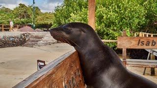 Download Odcinek XXXI Zoo bez krat - Isla Isabela, Galapagos 3Gp Mp4
