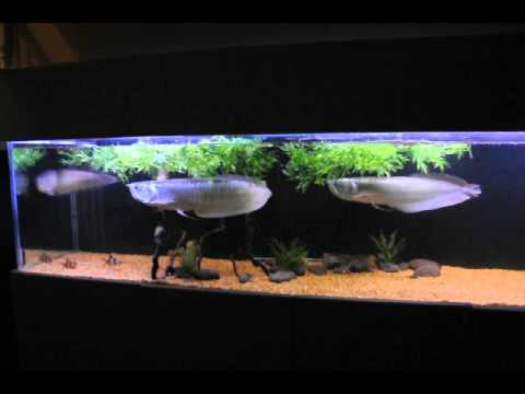 240 gallon aquarium youtube for Arowana tank decoration