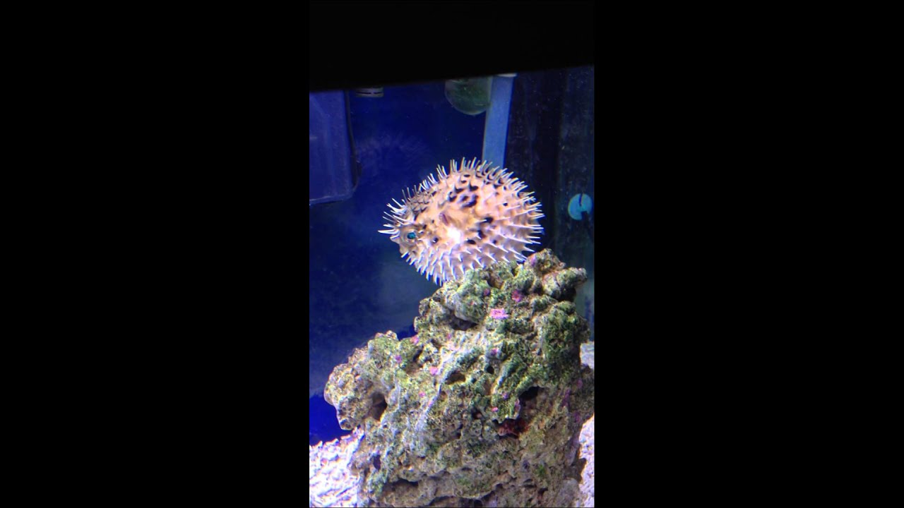 porcupine puffer fish Large and interesting porcupine puffer available from among the reef we only carry the healthiest porcupine puffer (diodon holocanthus) online in stock.