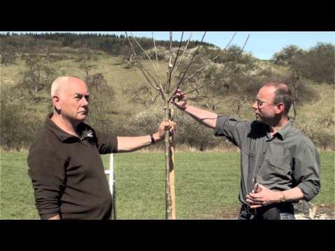 Obstbaum Richtig Schneiden - Obstbaumschnitt, Der Pflanzschnitt