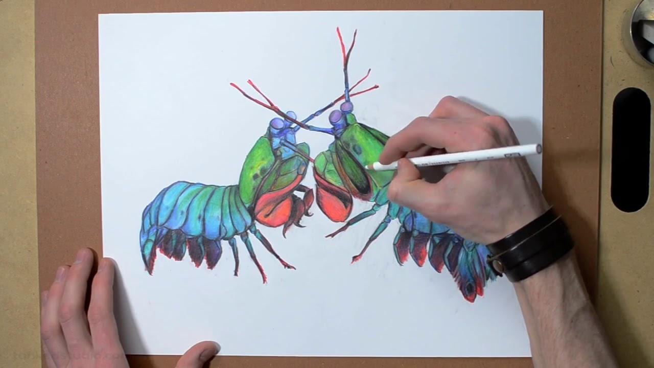 Search mantis shrimp