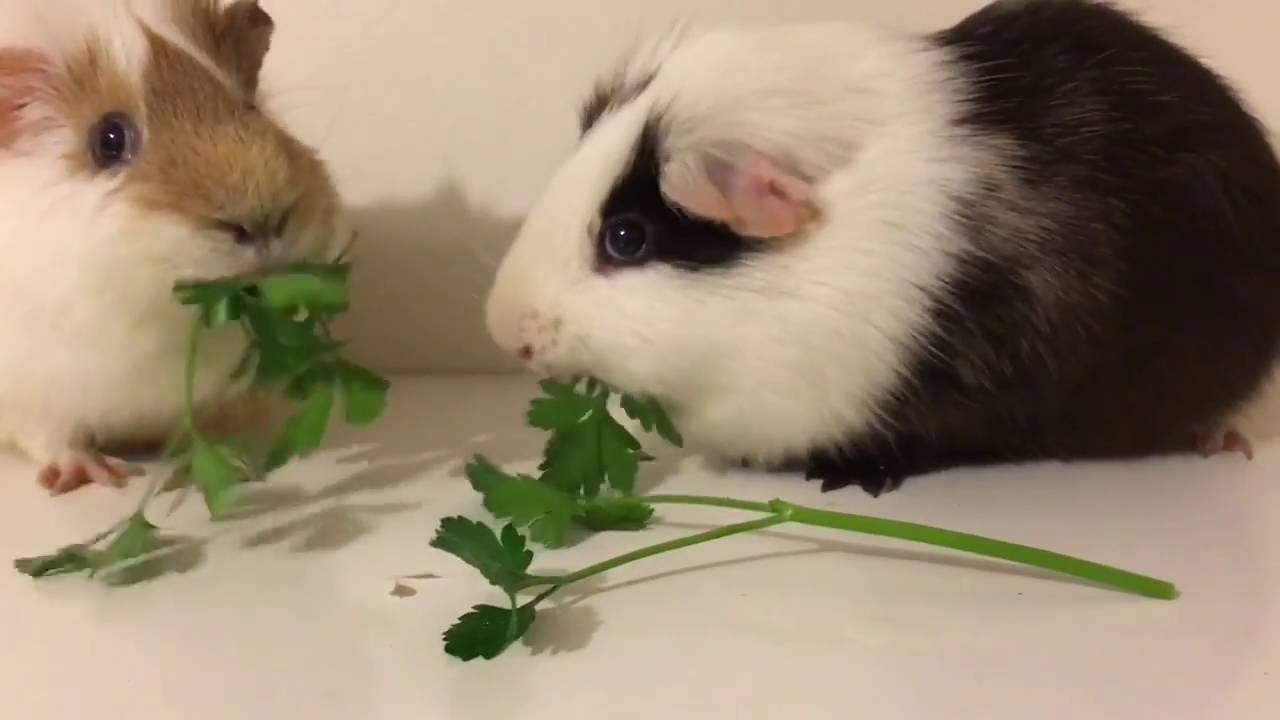 Guinea Pig Olympics: Who Can Eat Parsley The Fastest?