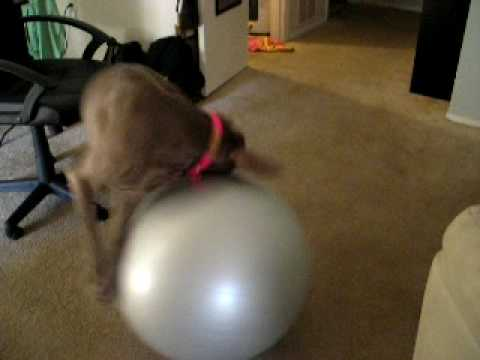 Weimaraner Exercises Video
