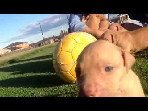 Amstaff (American Staffy) Puppies for sale in Tarneit, Werribee, Melbourne, Victoria
