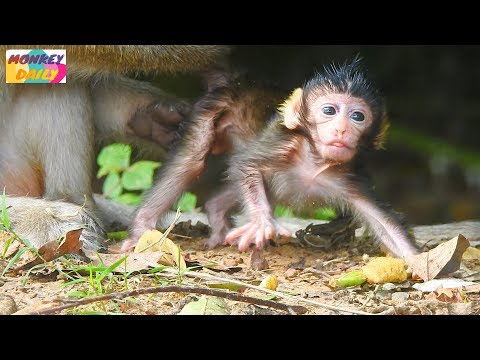 Newborn Bree collapse while learning to walk Bree beginning step by step to walk Monkey Daily 1016