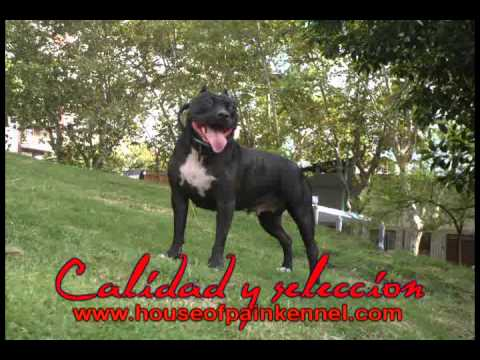 American Bully Criadero , The House of Pain Kennel