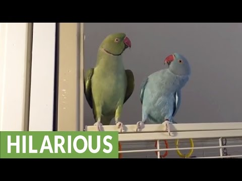 Parakeet brothers engage in full length conversation