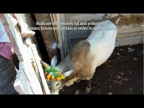 Jallikattu Investigation (jan 2013) video