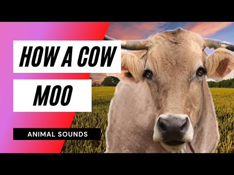 The Animal Sounds: Cow Moo - Sound Effect - Animation