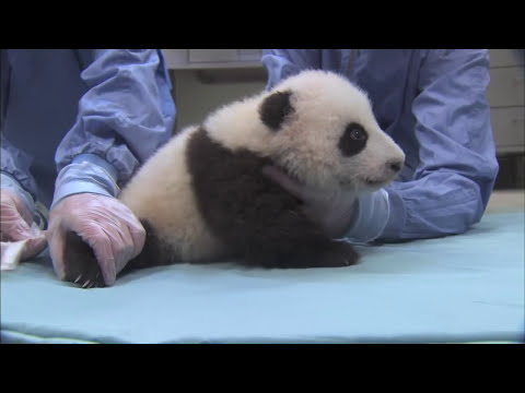 Unbearably Cute Panda Cub Exam Compilation
