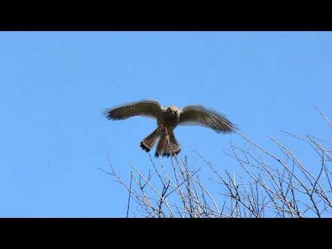 Turmfalke - Common Kestrel
