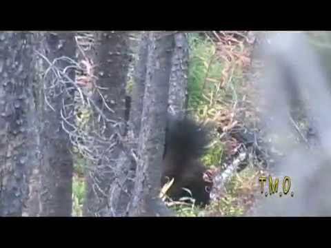 wild Idaho wolverine 2012