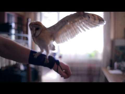 Сова сипуха - птенец нашего разведения , видео нашего  клиента Семена Симоненко, г. Севастополь