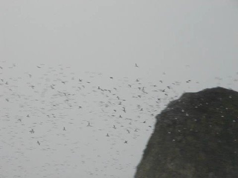 Thousands of Birds at Cannon Beach, Oregon Video