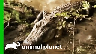 Giant Alligator Captured | Gator Boys