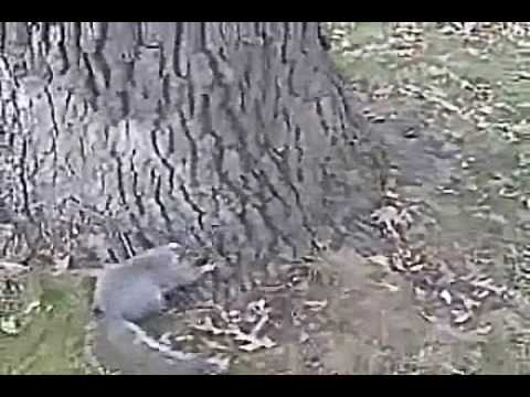 Drunken squirrel
