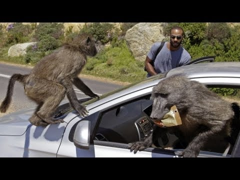 Baboon Wars | South Africa