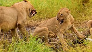 Lions growling & feeding on Rhino carcass. www.privatekrugersafaris.co.za