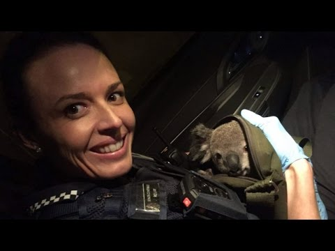 Cops Discover Baby Koala Inside Woman's Bag After Pulling Her Over