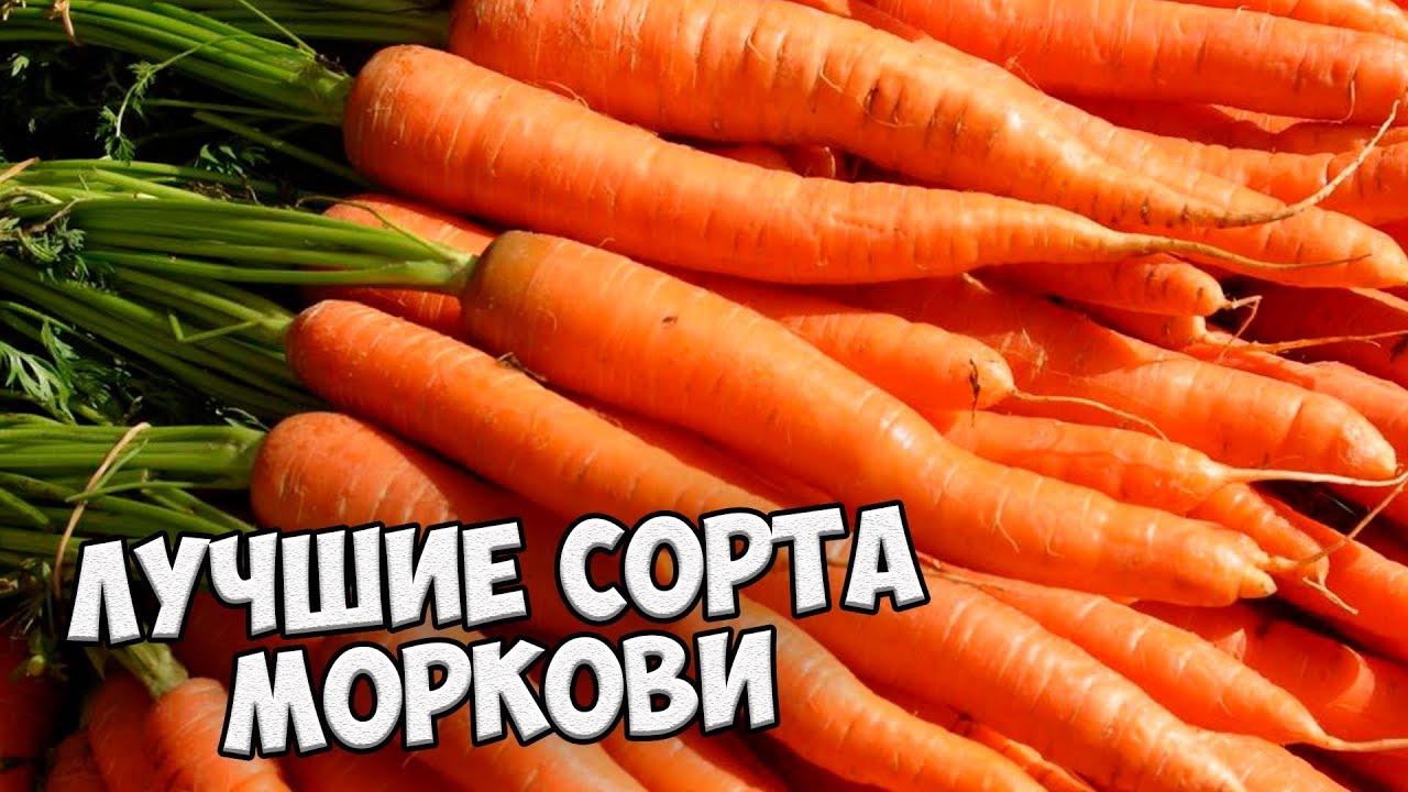 Семена сортов моркови лучшие сорта