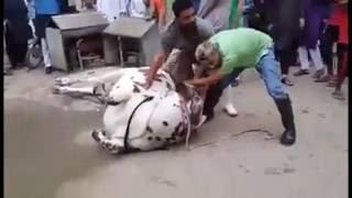 Cow Qurbani Videos - Best Bakra Eid Qurbani Compilation 2016