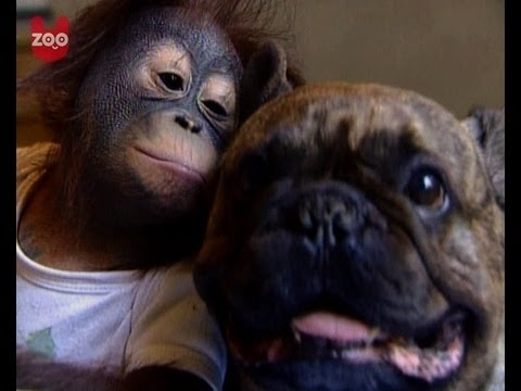 cute baby orangutan kisses bulldog   youtube
