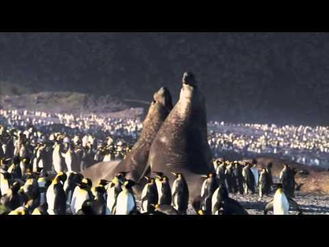 Elephant Seal battle - Frozen Planet - BBC