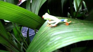 Costa Rica: Red Eyed Tree Frog