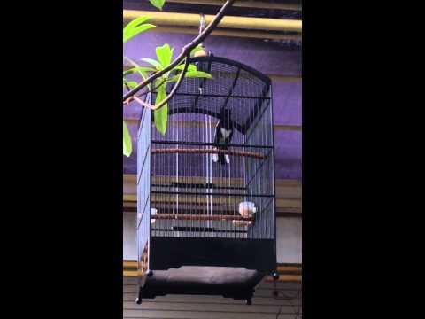 Suara burung : kacer BLACK KOBAR mr KATO eksekutor jogjakarta