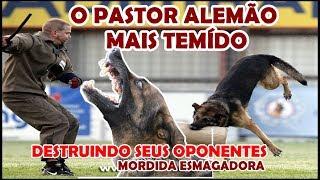 O pastor alemão mais temido do Brasil - 3 cenas terríveis causadas por ele