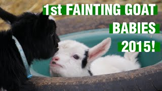 First fainting goat babies of 2015!