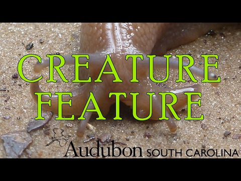 ASC Creature Feature: Rosy Wolfsnail