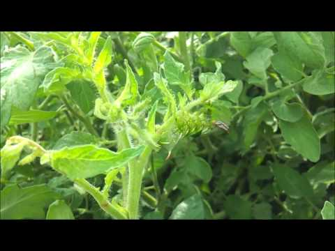 Tomato hornworm fights off fly attack