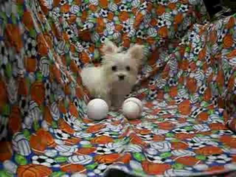 Smallest Adult Dog In The World Micro Tiny Teacup