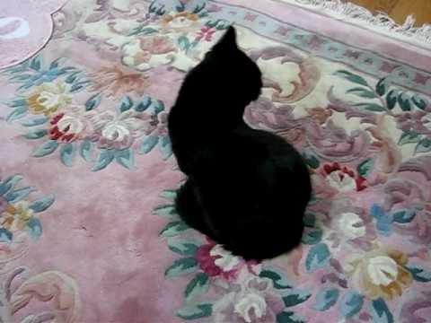 Singing black cat ♪ Sweetbox - Sacred