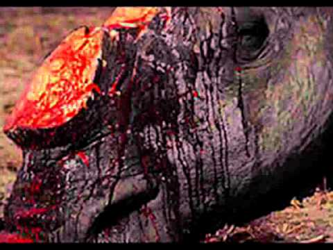 South African Rhino's are being killed by poachers