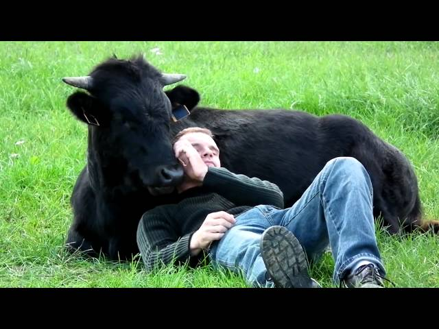 Un toro bravo criado como un perro