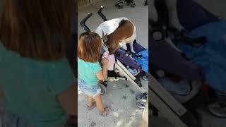 Une chèvre s'invite dans la poussette de ma fille.... Ce qui la met très en colère...
