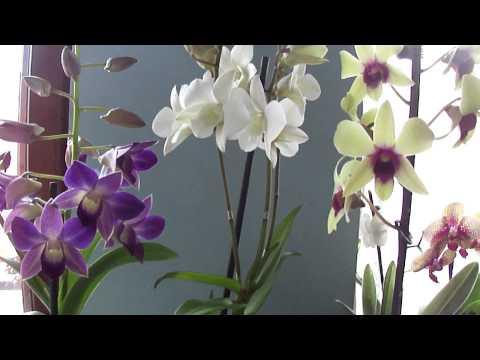 Орхидея дендрофаленопсис. Dendrobium phalaenopsis